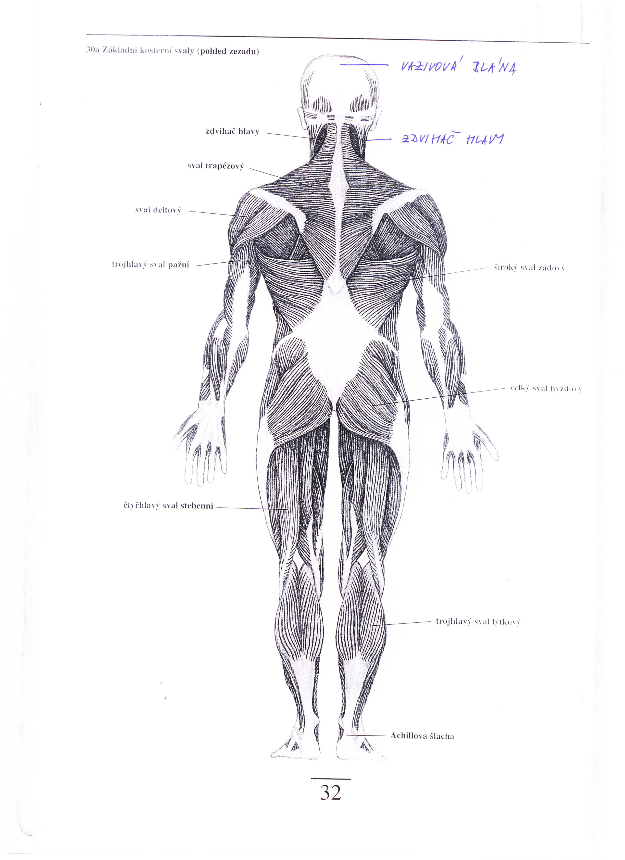 lidské svaly